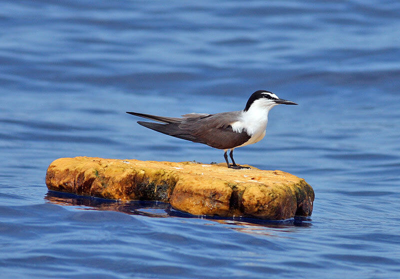 Vacationers to Buxton NC can charter a bird watching cruise to see shorebirds and pelagics like many species of terns.