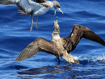 Cory's Shearwaters are the most common birds we see on some summer trips.